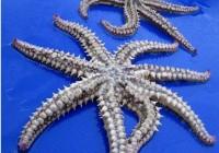 """英国渔民发明白一只有8条""""腿""""的海星"""